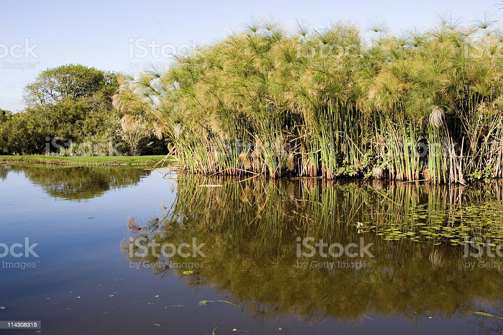 Papyrus reflected in lake royalty-free stock photo