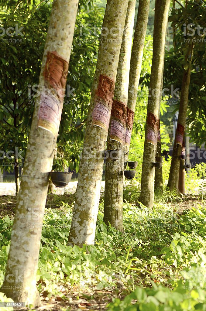 Para rubber planting and harvesting in the south of Thailand. stock photo