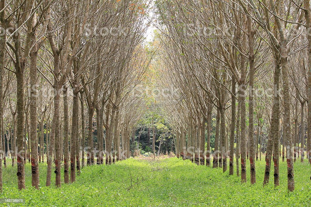 Para rubber tree garden royalty-free stock photo