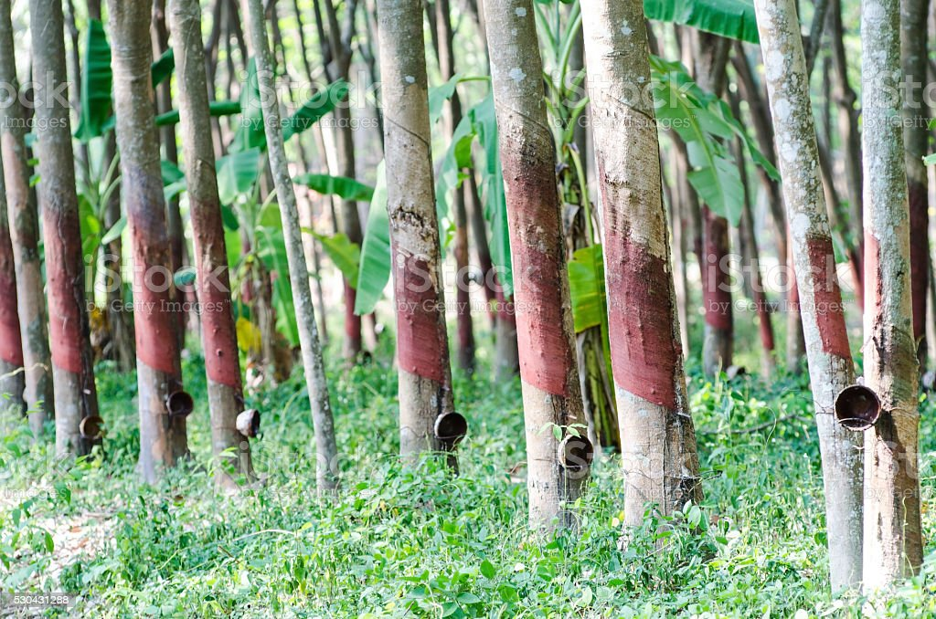 Para rubber tree plantation stock photo