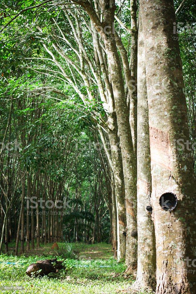 Пункт деревьев сад с чаша из резины Стоковые фото Стоковая фотография