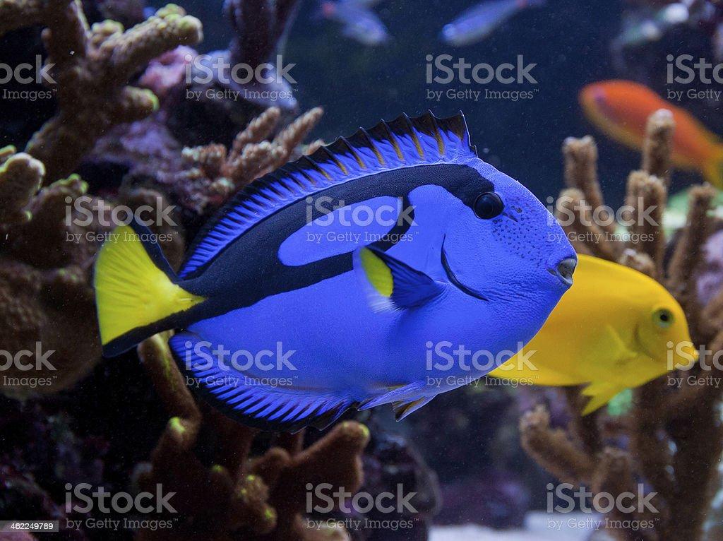 Paracanthurus hepatus, a beautiful blue and black fish stock photo