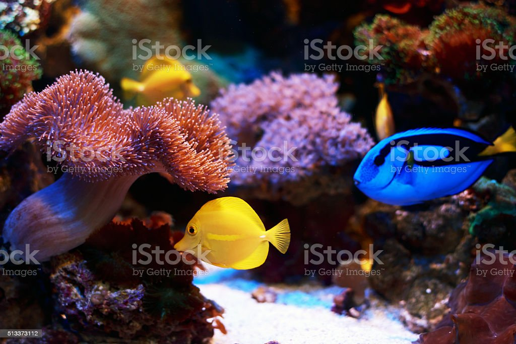 Paracanthurus hepatus and zebrasoma flavescens stock photo