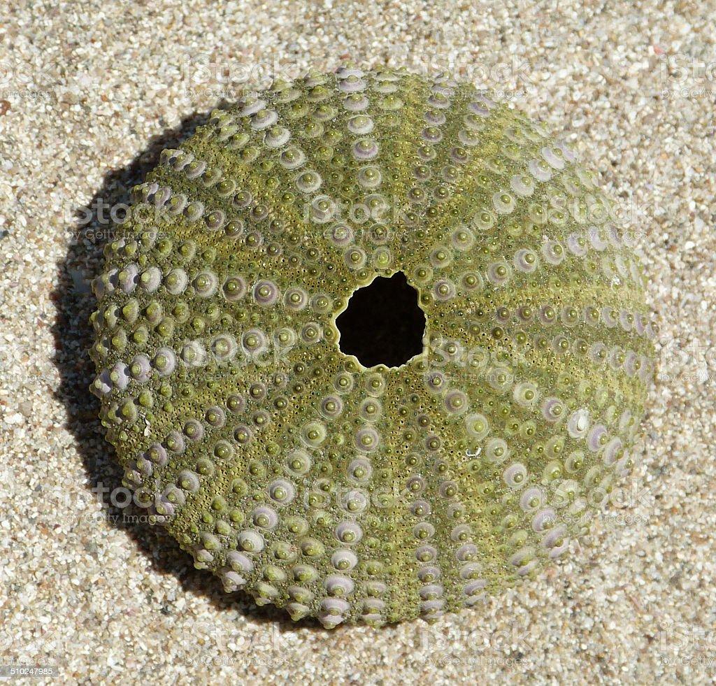Paracentrotus lividus ('Purple sea Urchin') test stock photo
