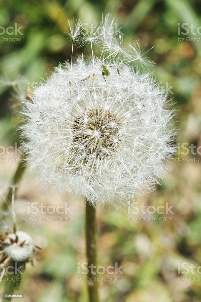 parachute seeds of dandelion blowball royalty-free stock photo