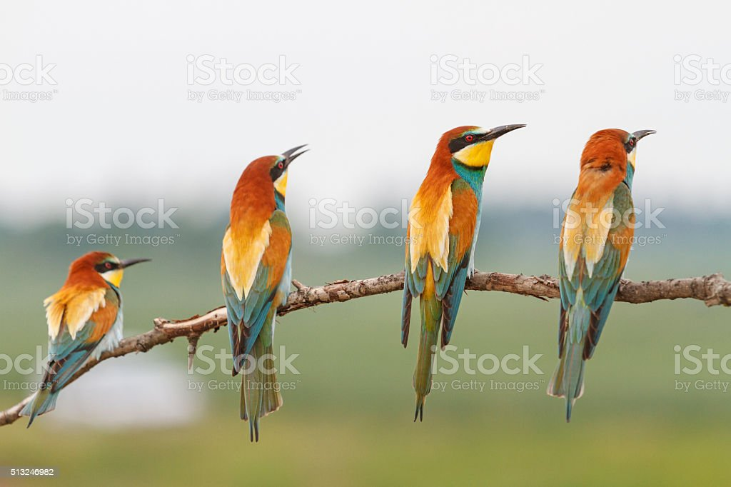 Paradise birds on a branch stock photo