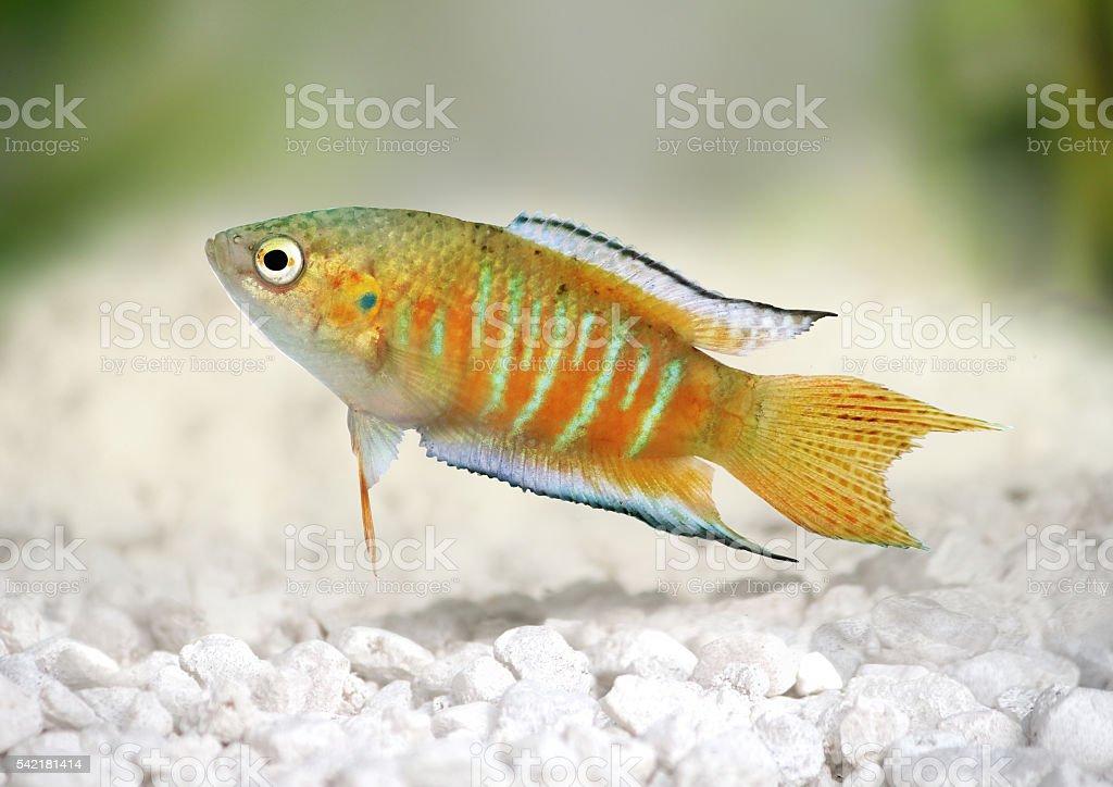 paradise fish gourami Macropodus opercularis tropical Aquarium fish stock photo