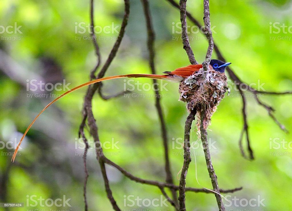 Paradise Flycatcher in nest stock photo