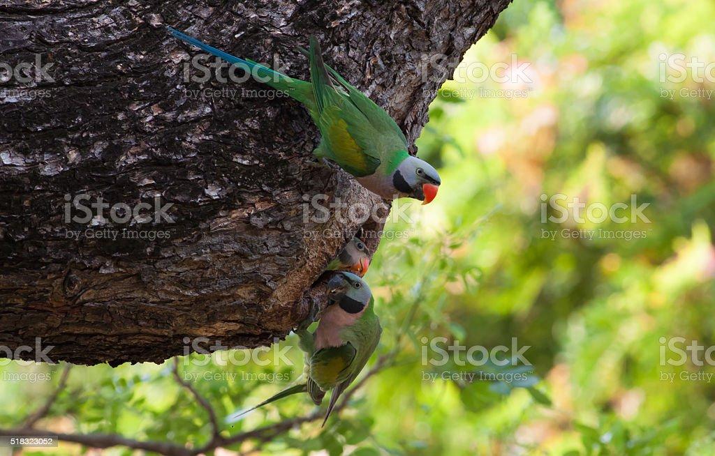 Parakeet family on tree hole stock photo