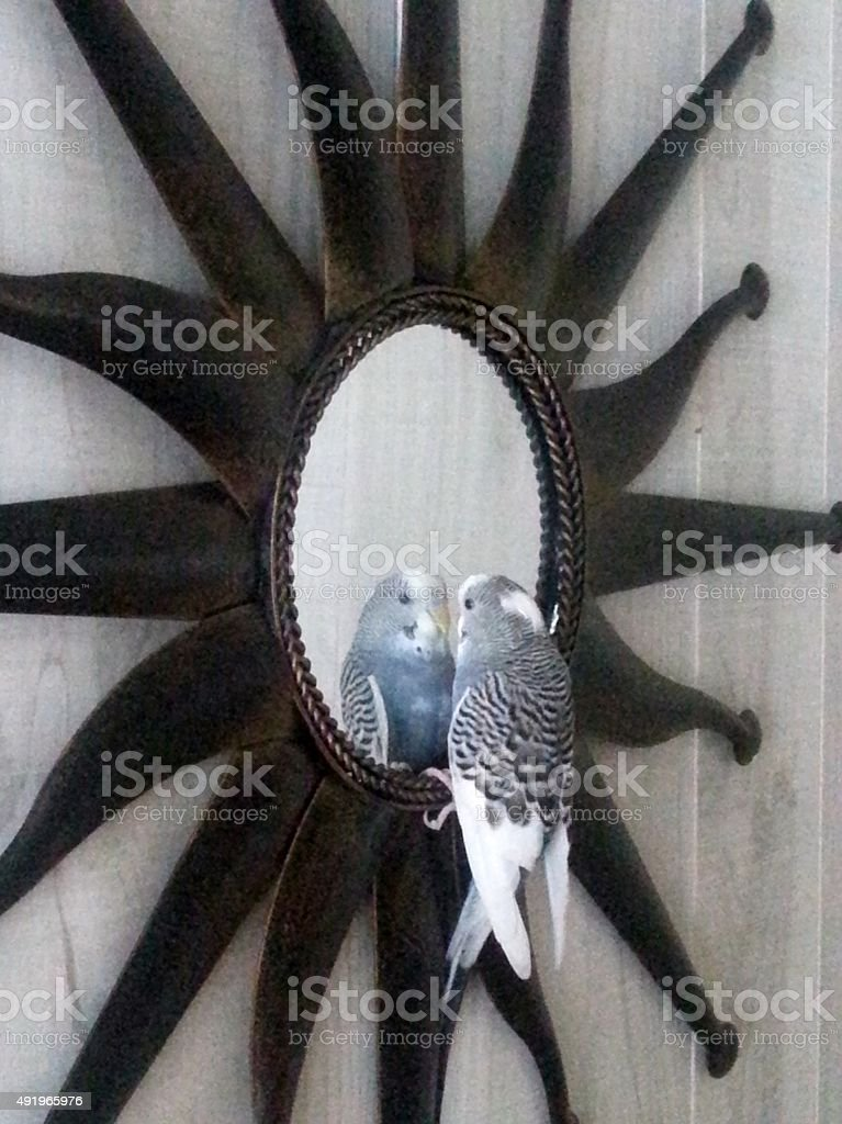 Perruche aime regardant dans le miroir photo libre de droits