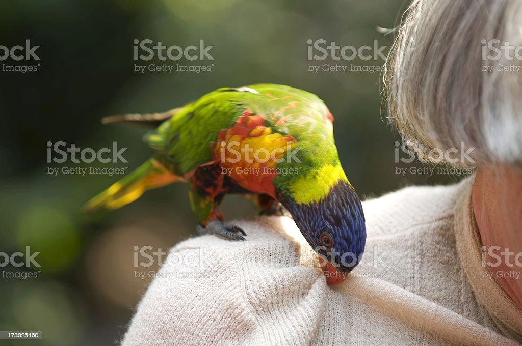 Parakeet royalty-free stock photo