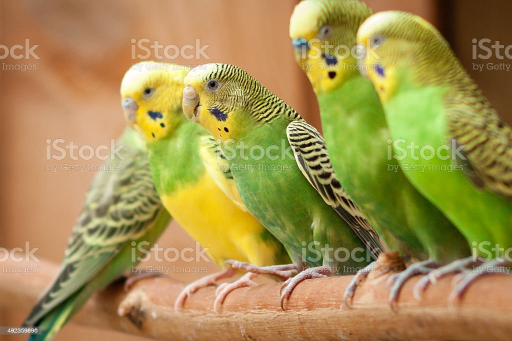 Parakeets all in a row stock photo