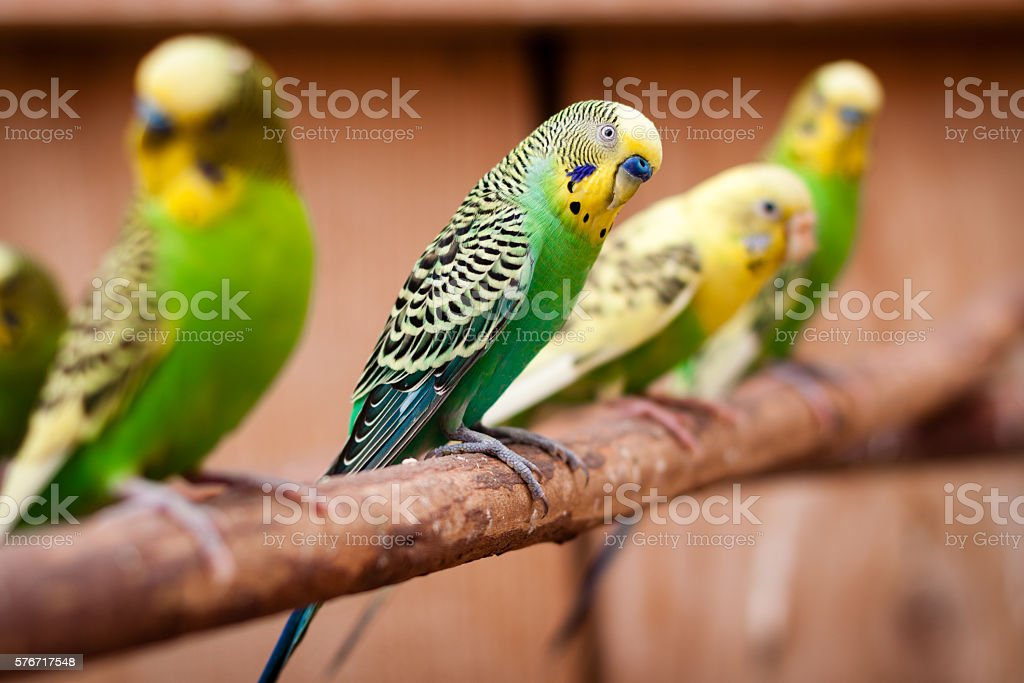 Parakeets on a branch stock photo