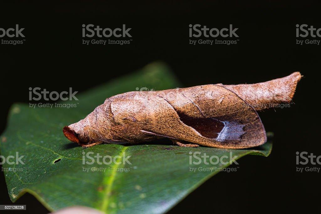 Paralebeda plagifera moth on green leaf stock photo