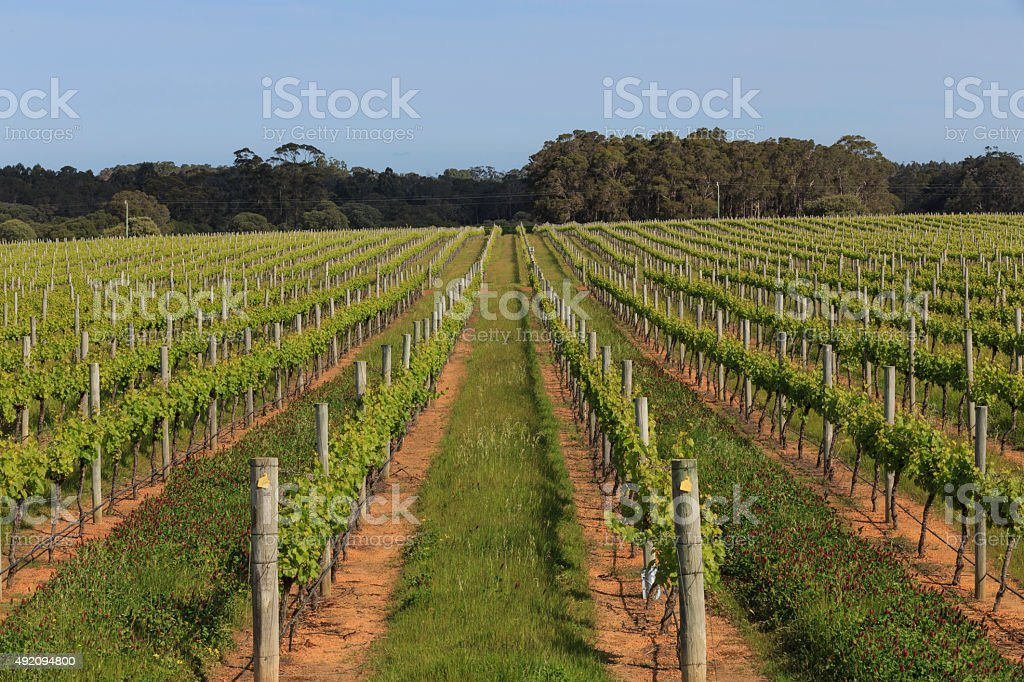 Paralel Lines in the Vineyard stock photo