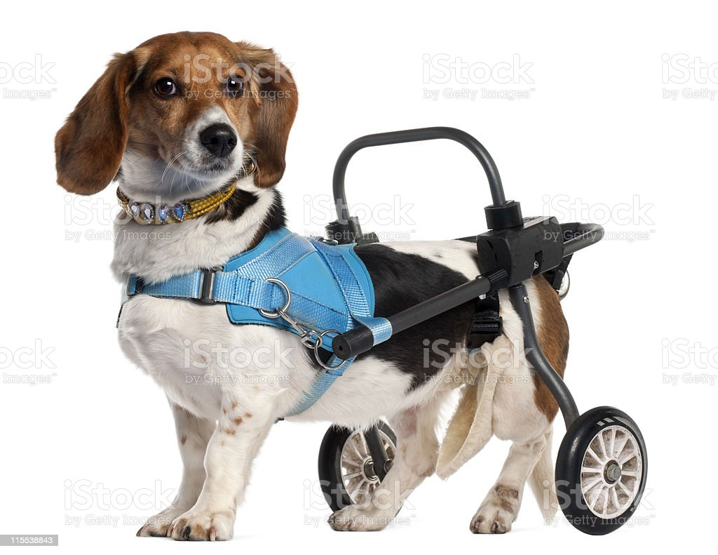 Paralyzed handicapped Mixed-Breed Dog, white background. stock photo