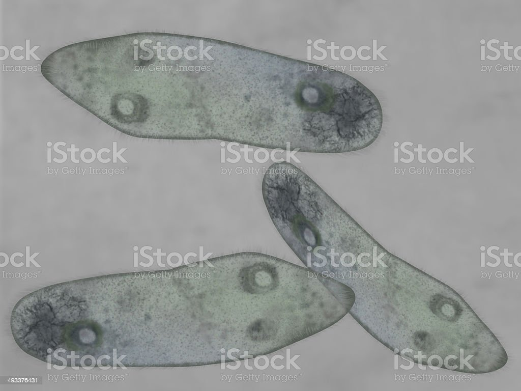 Paramecium stock photo