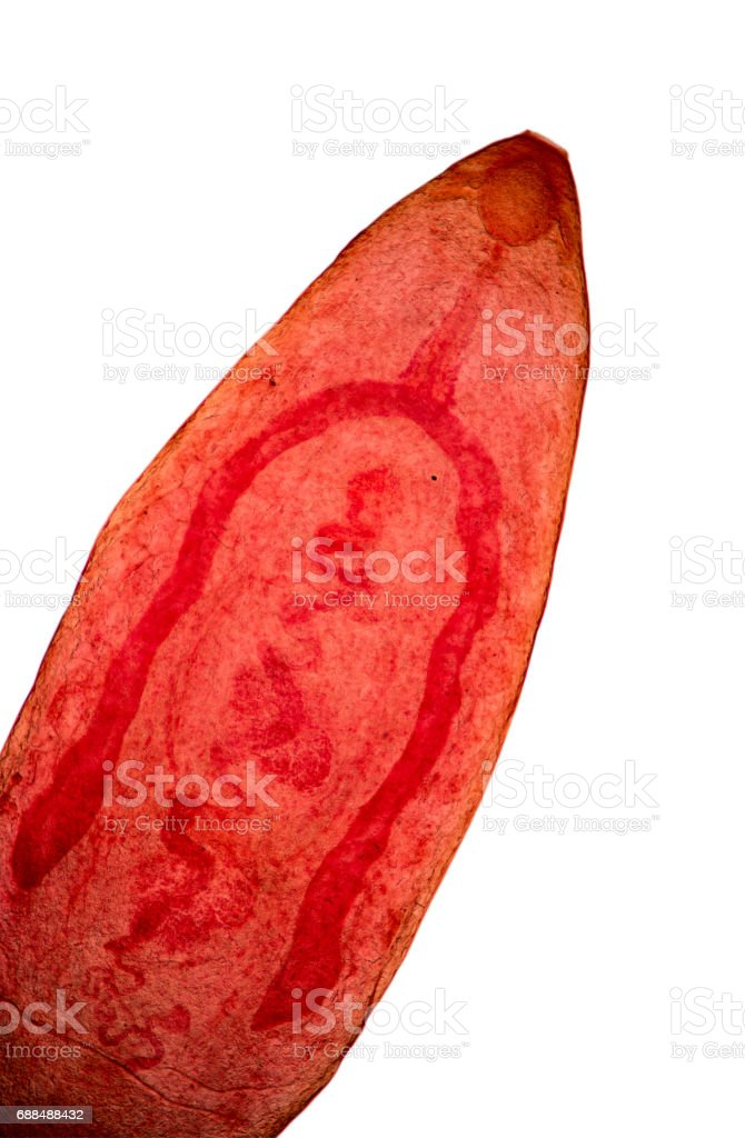 Paramphistomum is a genus of parasitic flat worms belonging to the digenetic trematodes. stock photo