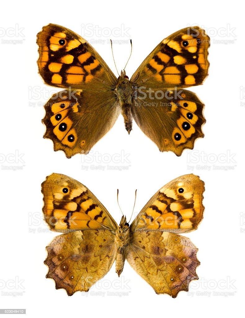 Pararge aegeria aegeria butterfly stock photo