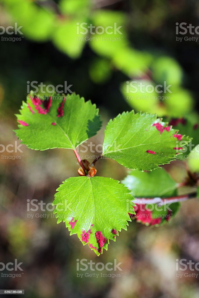 Parasites on leaves stock photo