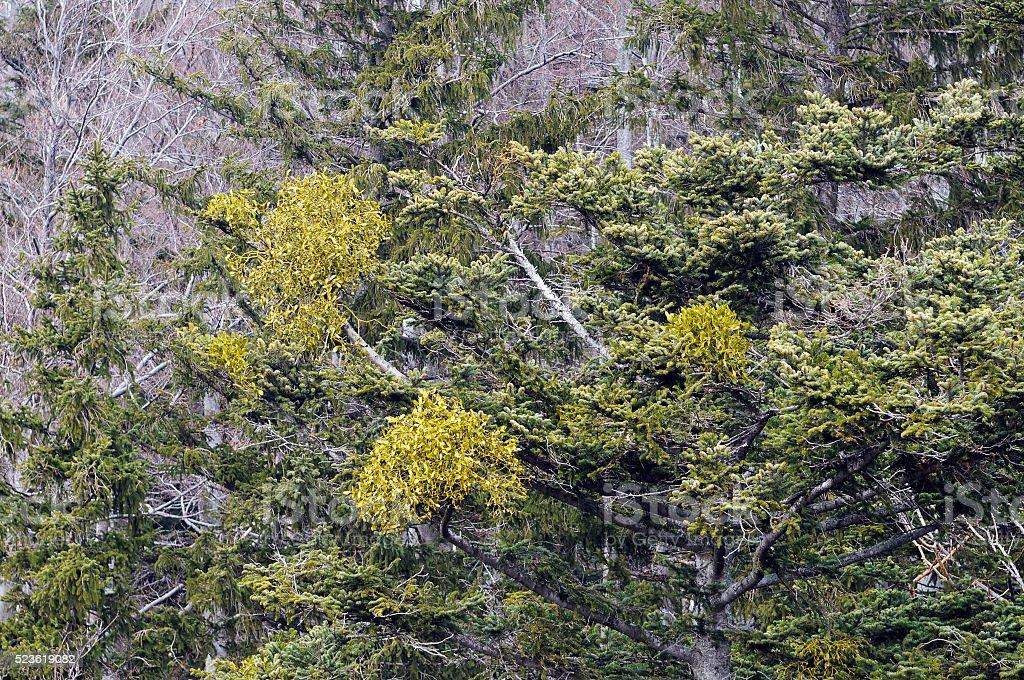 Parasitic plant mistletoe (Viscum album) stock photo