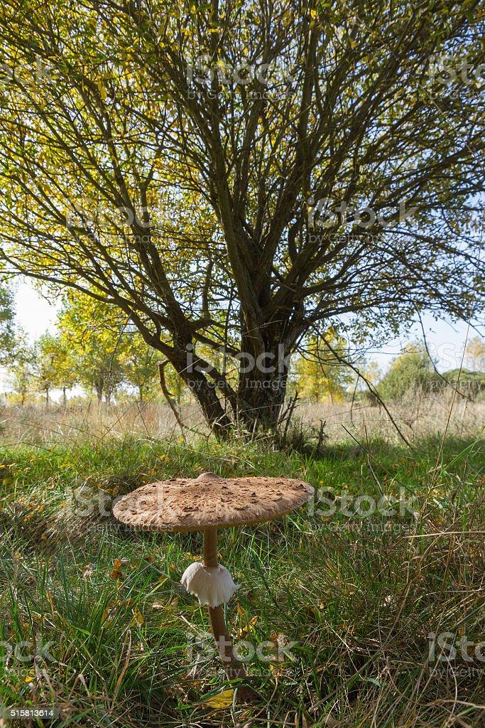 Parasol Mushroom in autumn -  Seta Macrolepiota Procera en oto stock photo