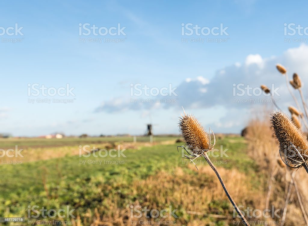 Parched wild teasels from close stock photo
