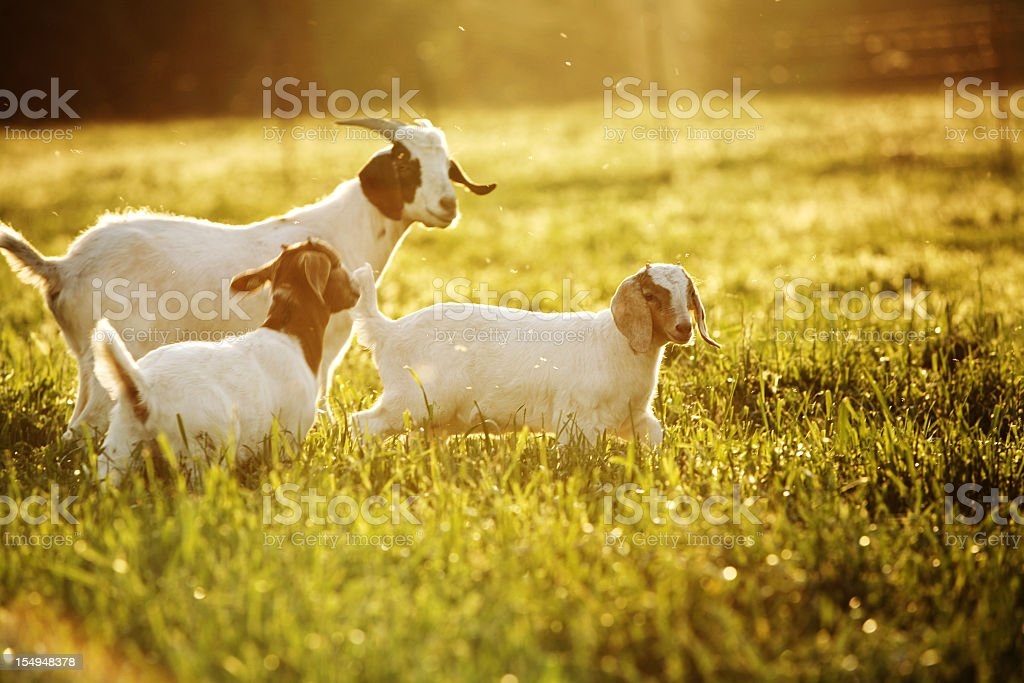 Parent goat with two kids in grass stock photo