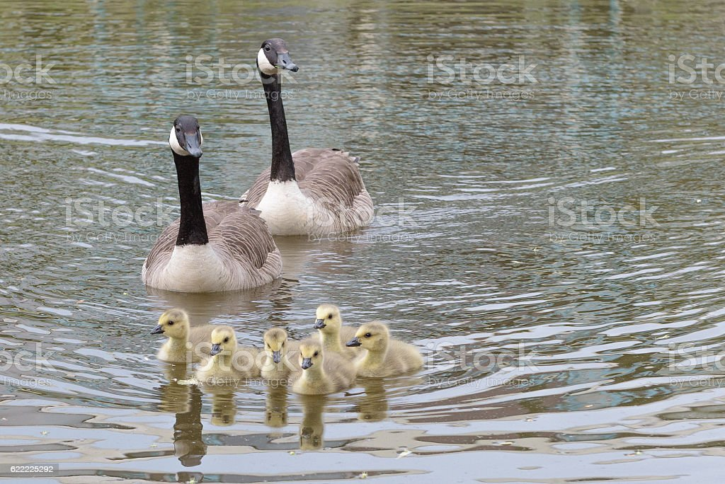 parents canadian goose swim with chicks stock photo