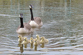 parents canadian goose swim with chicks