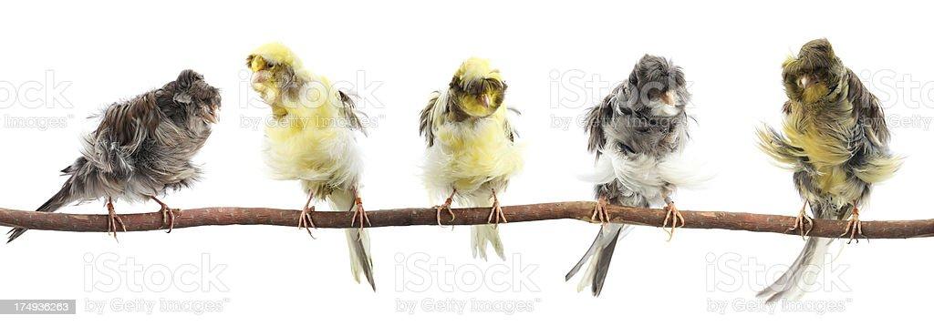 Parisian Frilled Canaries royalty-free stock photo