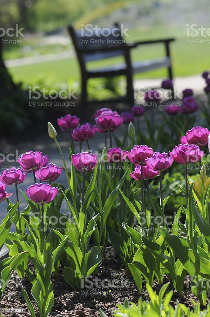 Park bench with Tulips stock photo
