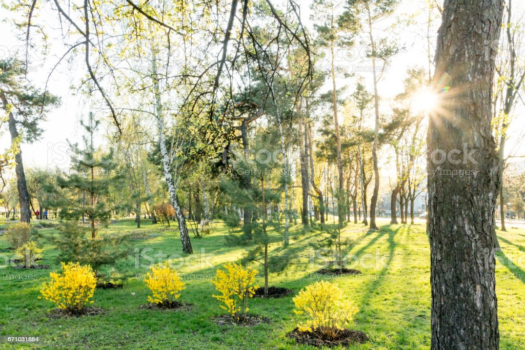 Park lawn. Trees, green grass and sun. Green and yellow plant. stock photo
