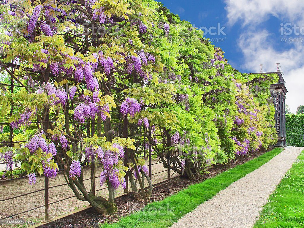 Park of Schnbrunn Palace in Vienna. Blooming wisteria stock photo