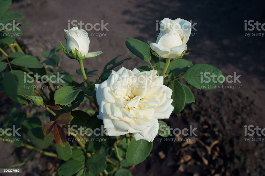 Park rose white flower and buds stock photo