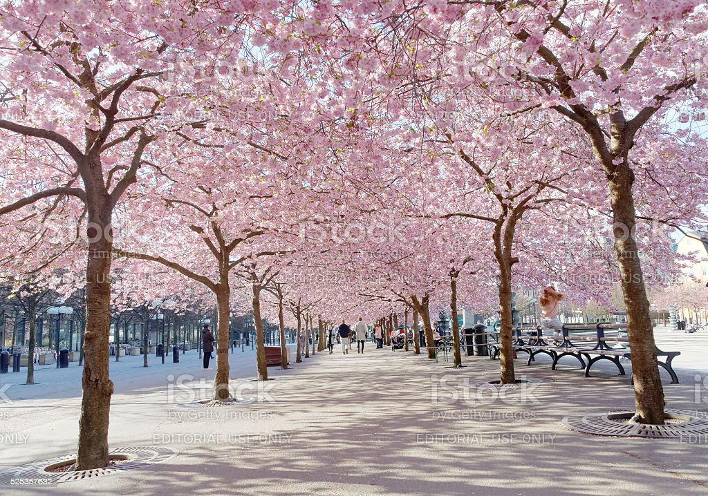 Park with beautiful blooming cherry trees and people stock photo