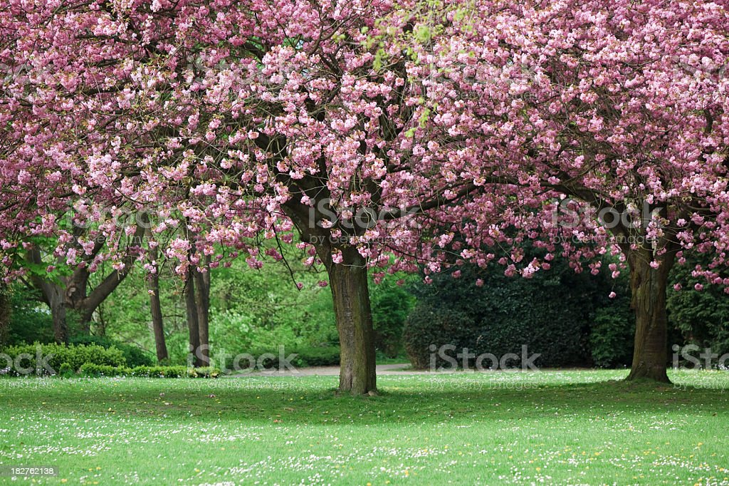 Park with blooming trees royalty-free stock photo