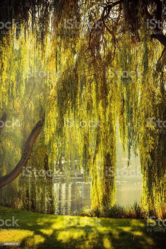 park with pond and willow trees stock photo