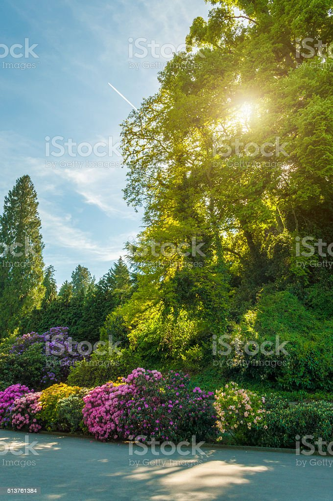 park with rhododendron bushes in sunset stock photo