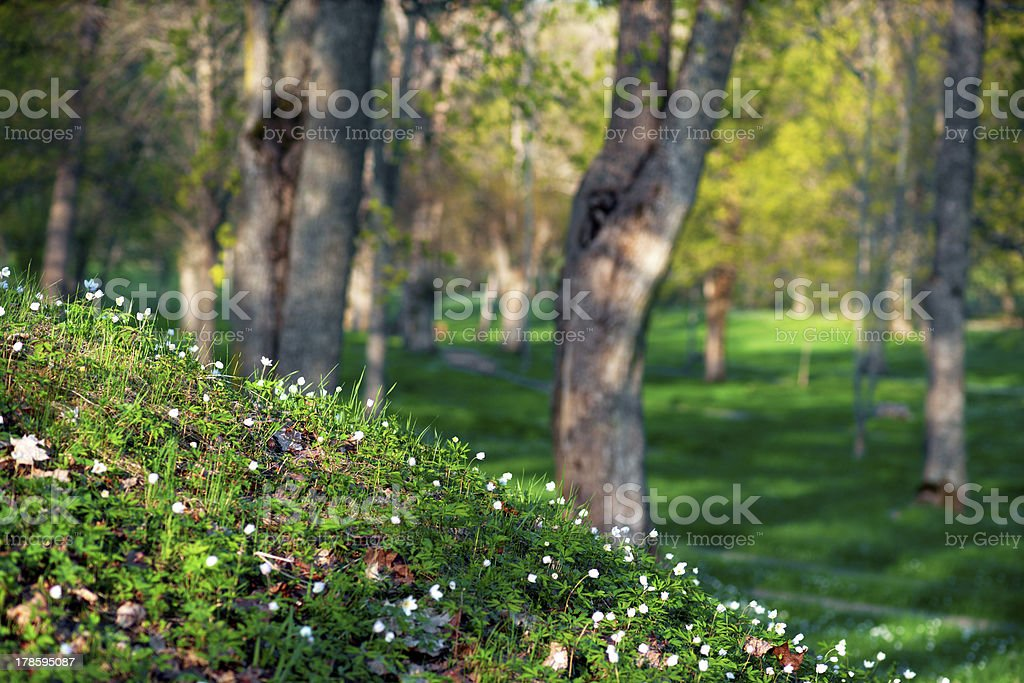 park with wood anemone flowers royalty-free stock photo