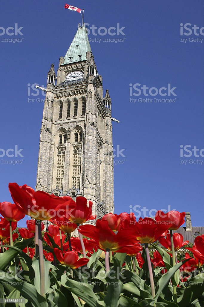 Parliament Tulips - 02 stock photo