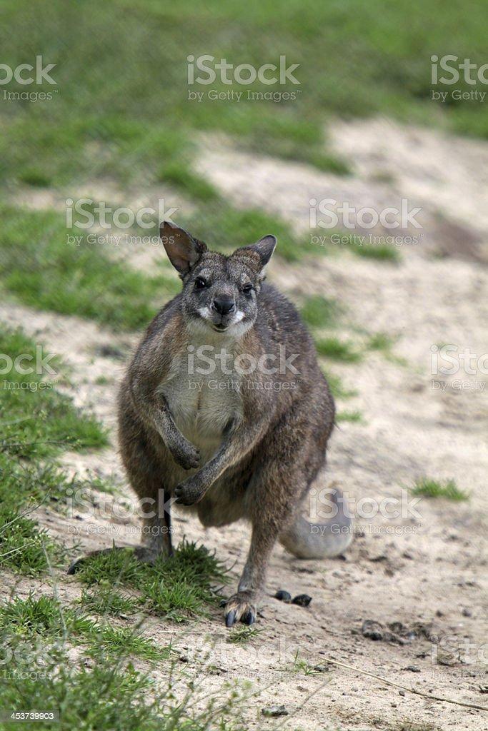 Parma wallaby royalty-free stock photo