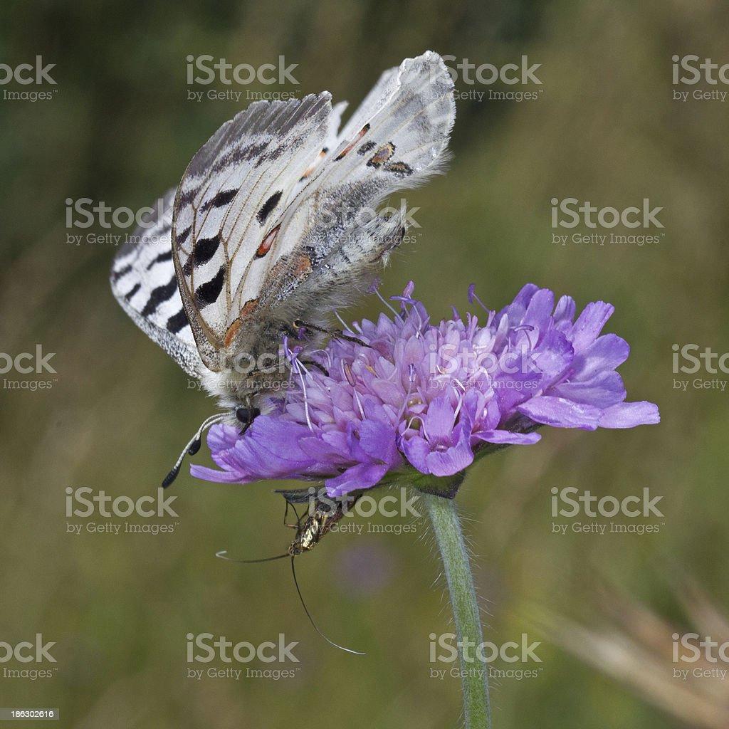 Parnassius apollo stock photo