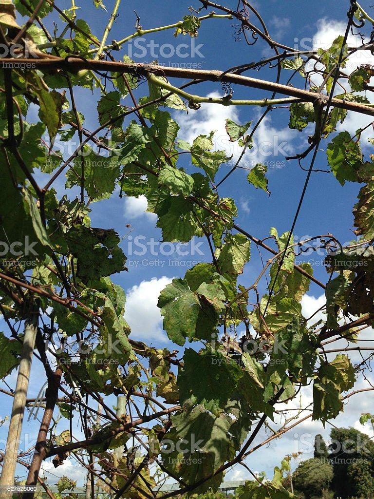 Parreiral de L'uvas photo libre de droits