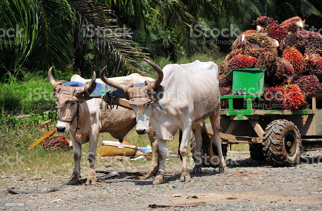 Parrita, Costa-Rica: oxcart with Arecaceae Elaeis dates for palm oil stock photo