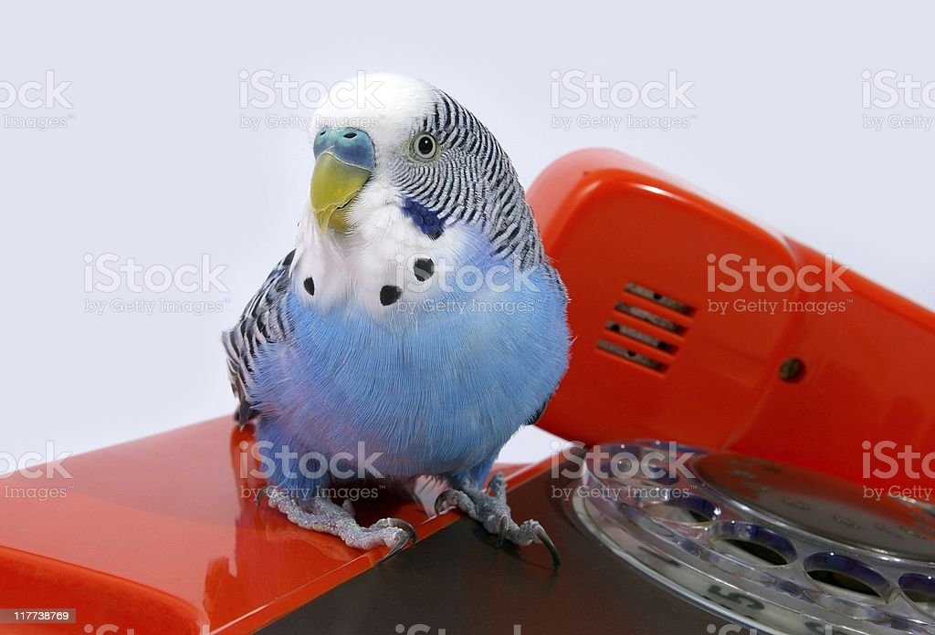 Parrot and  telephone royalty-free stock photo