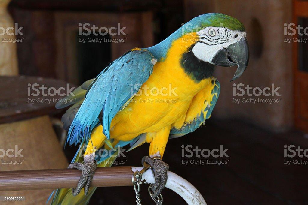 Parrot Ara Ararauna stock photo