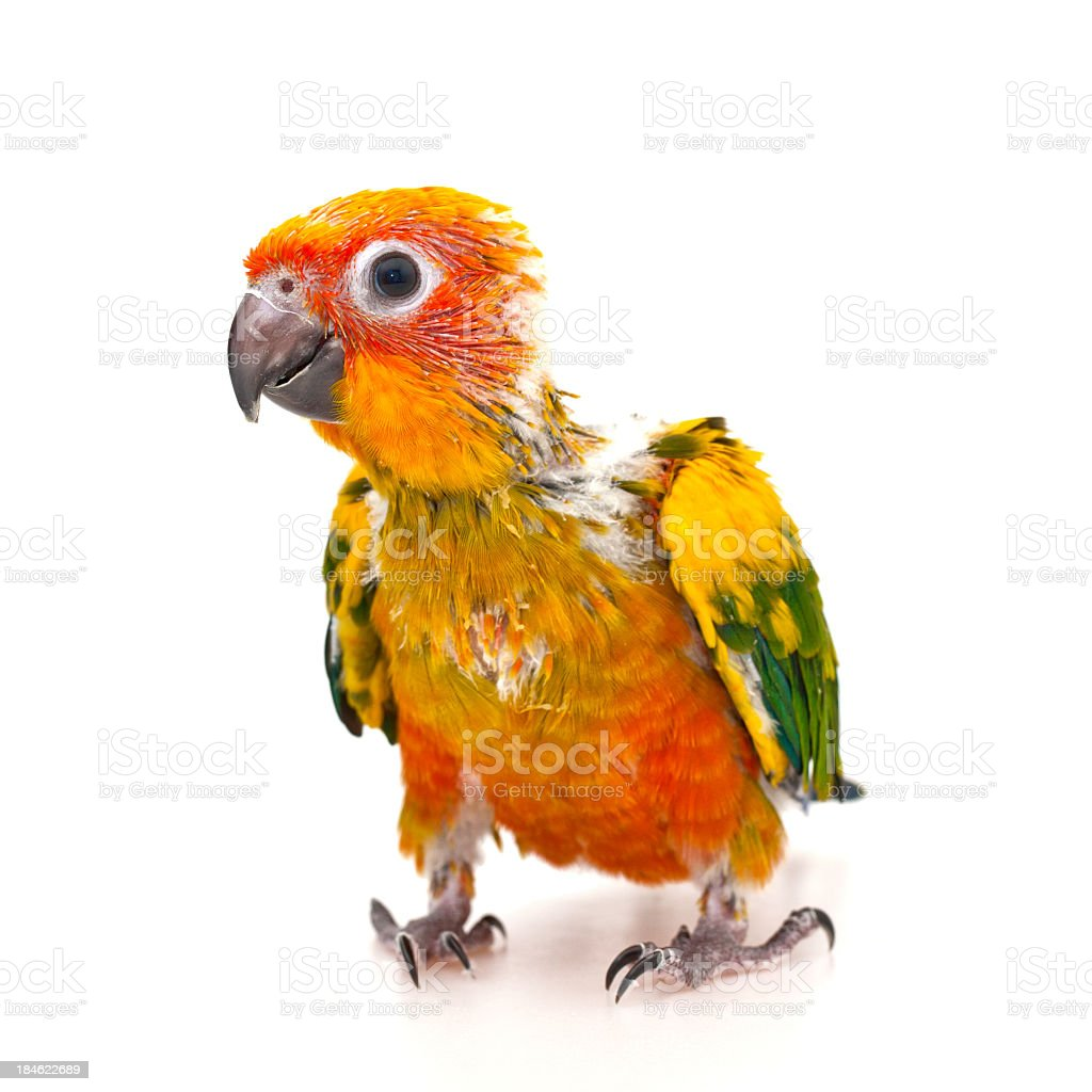 Parrot baby isolated on white royalty-free stock photo