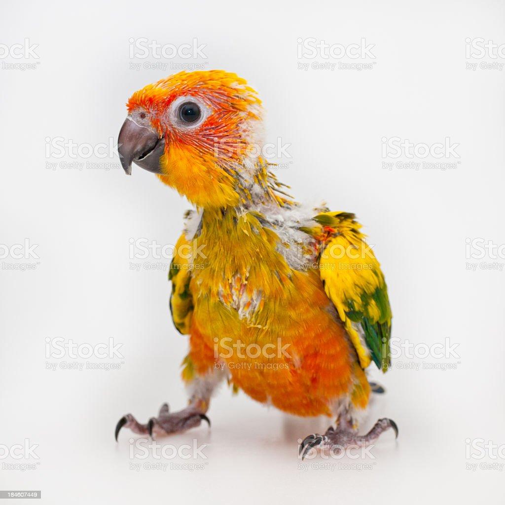 Parrot baby stock photo