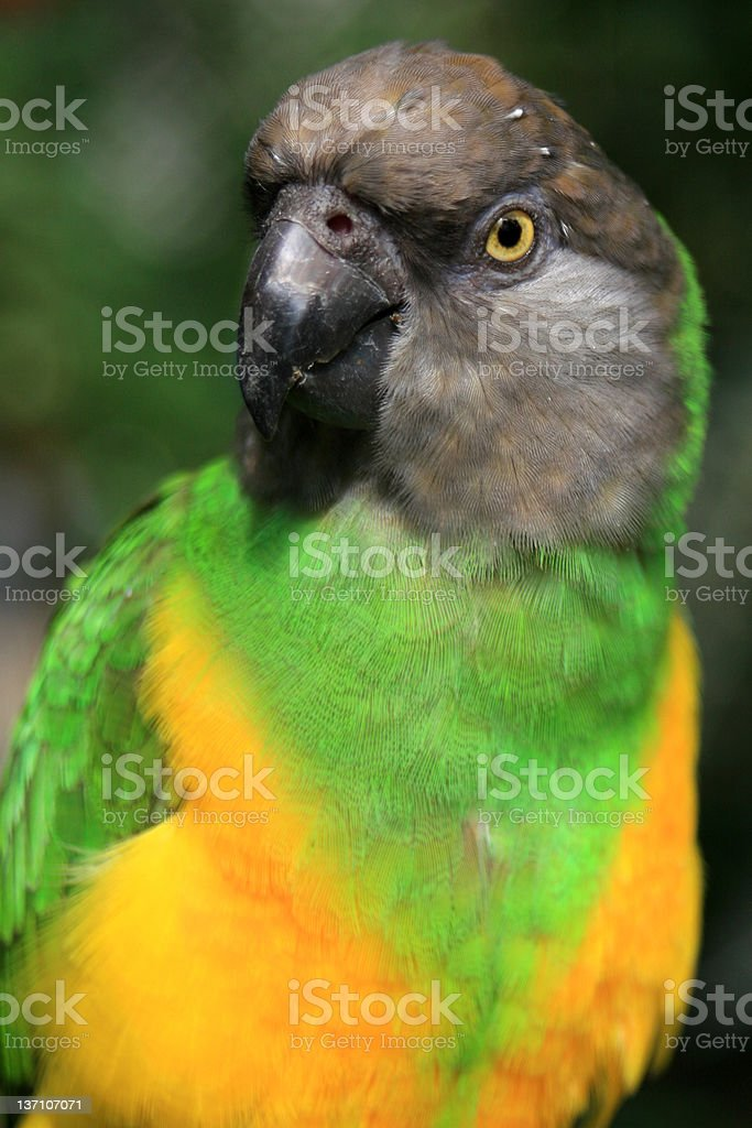 Parrot close up royalty-free stock photo